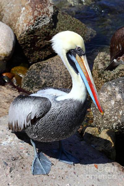 Peruvian Pelican Poster