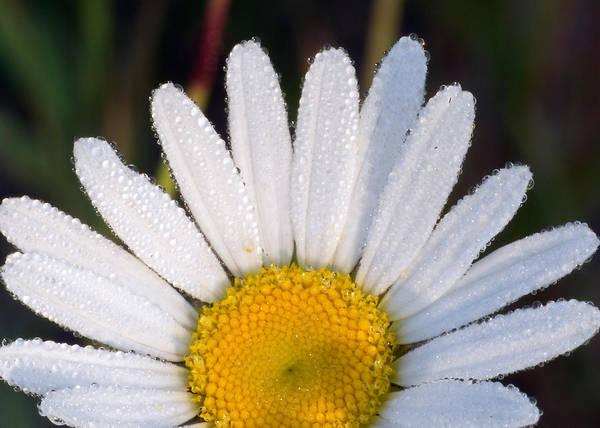 Petals And Dew Poster