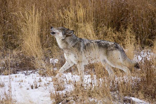 Phantom Lake Wolf Poster