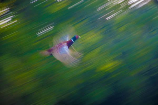 Pheasant Flight Poster