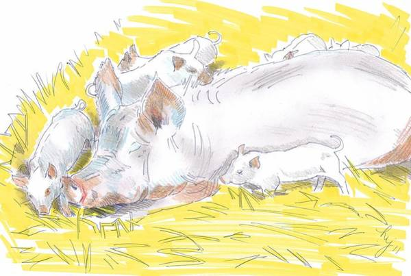 Pig Sow And Piglets Poster