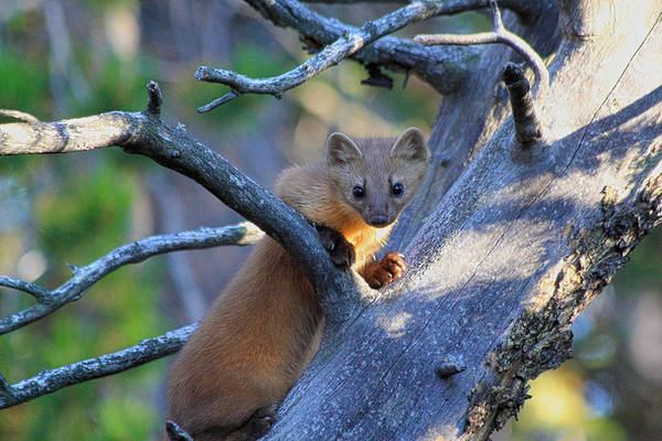 Poster featuring the photograph Pine Martin by Shane Bechler