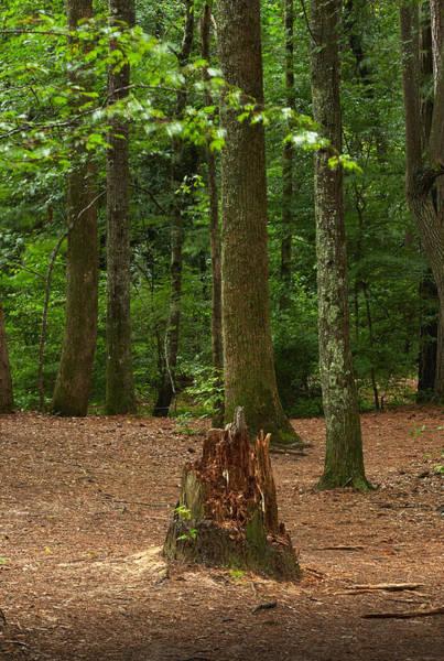 Pine Stump Poster