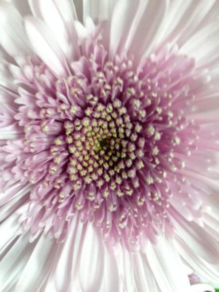 Pink And White Chrysanthemum Poster