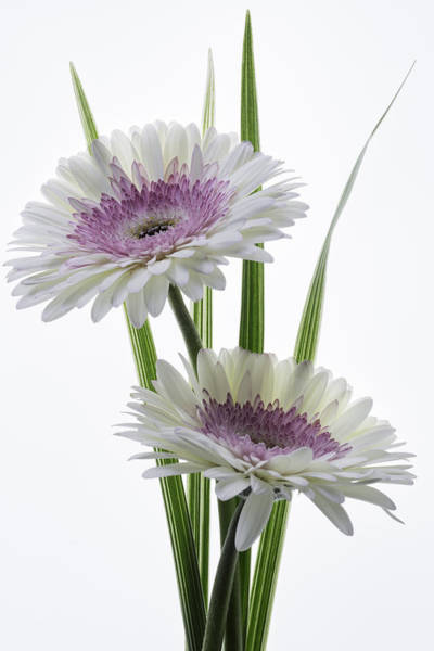 Pink And White Gerbera Poster
