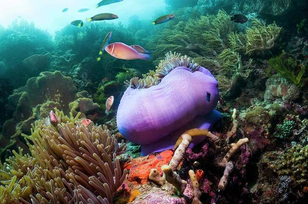 Pink Anemonefish With Magnificent Anemone Poster