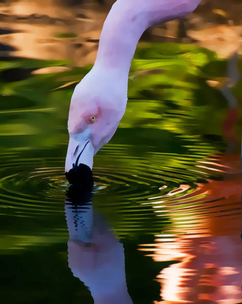 Pink Flamingo Ripples And Reflection Poster