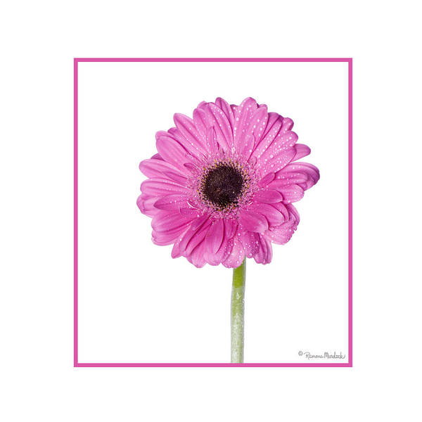 Pink Gerbera Daisy Poster
