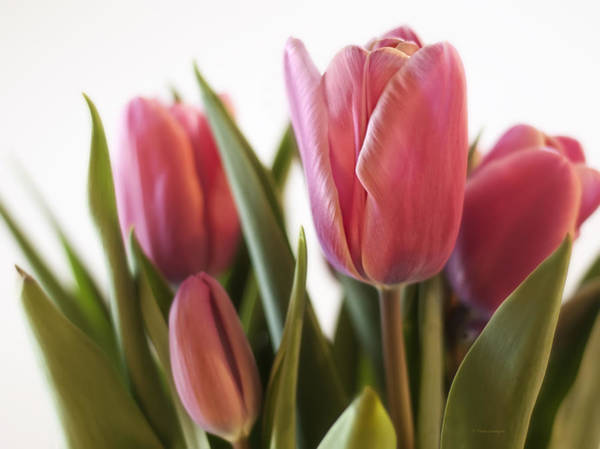 Poster featuring the photograph Pink Tulips  by Vickie Szumigala