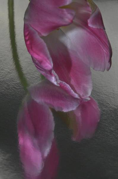 Pink Tulip Reflection In Silver Water Poster