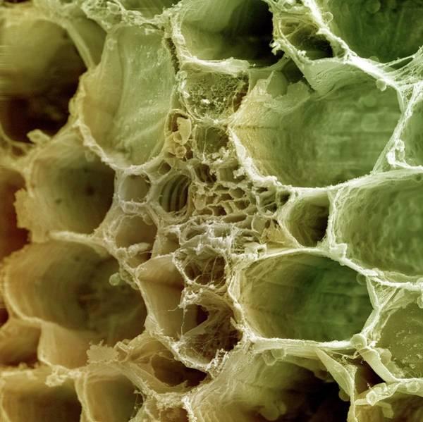 Plant Vascular Bundle Poster