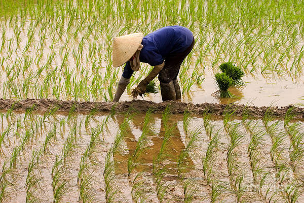 Planting Rice Poster