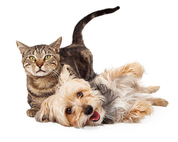 Playful Dog And Cat Laying Together Poster