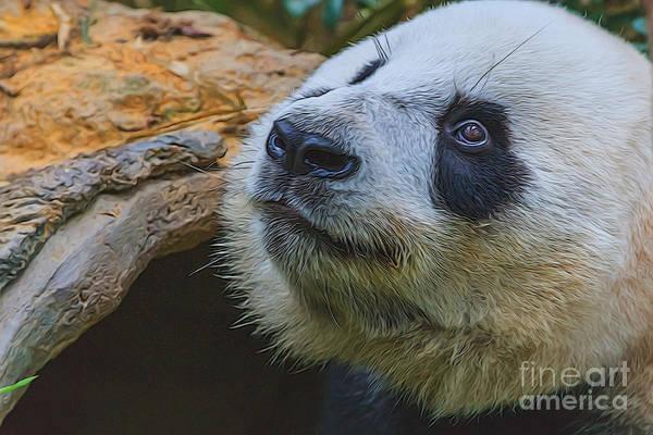 Pleading Panda Poster