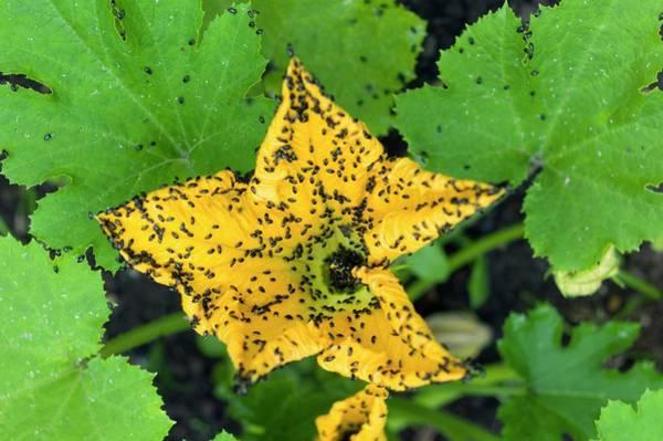 Pollen Beetles On A Marrow Flower Poster