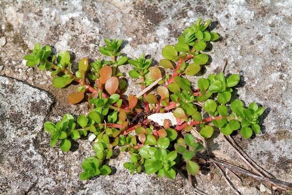 Polycarpon Dyphyllum Poster