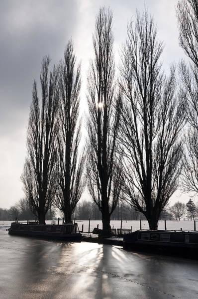 Poplars In Winter Poster