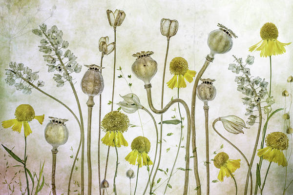 Poppies And Helenium Poster