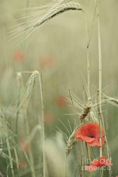 Poppies And Wheat Ear Poster