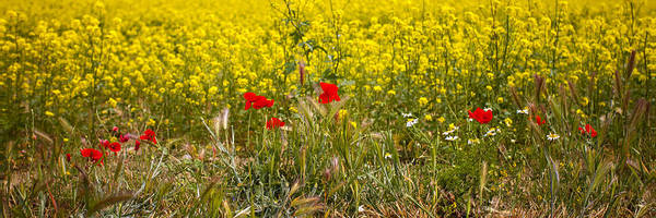 Poppies In Yellow Field Poster