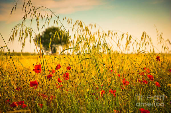 Poppies With Tree In The Distance Poster