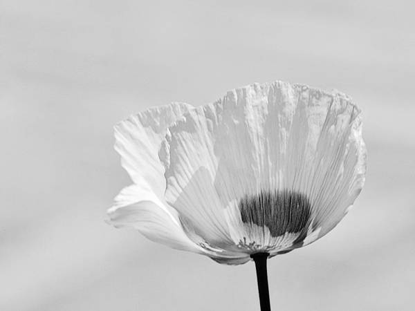 Poppy In White Poster