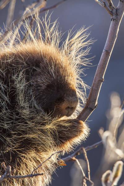 Porcupine Profile Poster