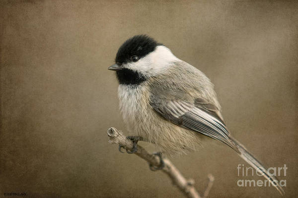 Portrait Of A Blackcapped Chickadee Poster