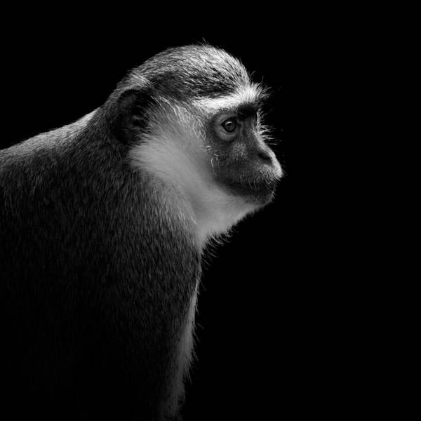 Portrait Of Green Monkey In Black And White Poster
