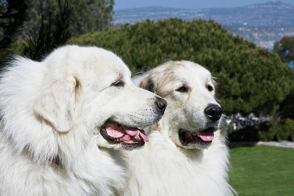 Portrait Of Two Great Pyrenees Together Poster