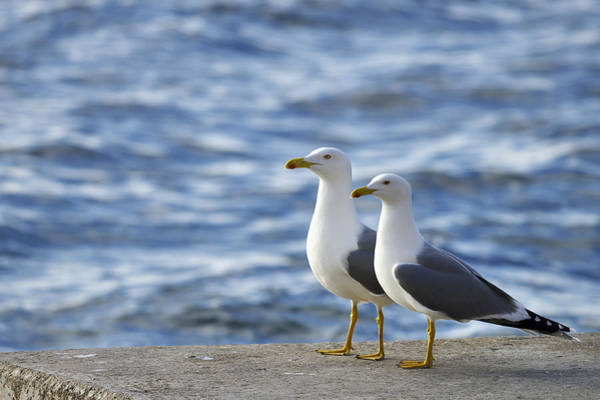 Posing Seagulls Poster