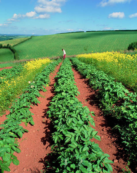 Potato Plants Flanked By Mustard On Organic Farm Poster