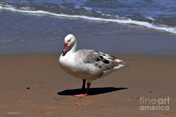 Pretty Duck Posing On Monterey Beach Poster