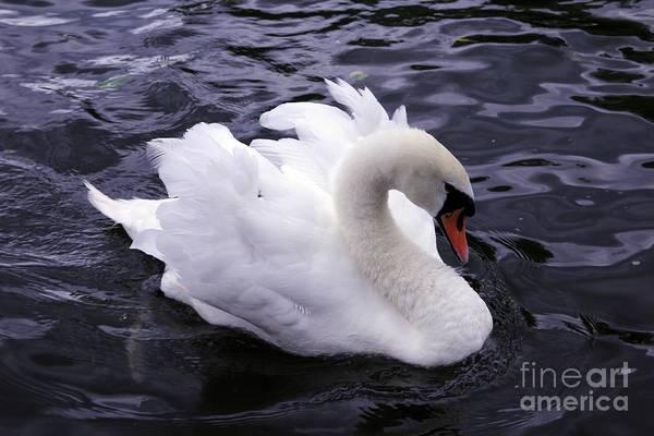 Pretty Swan Poster