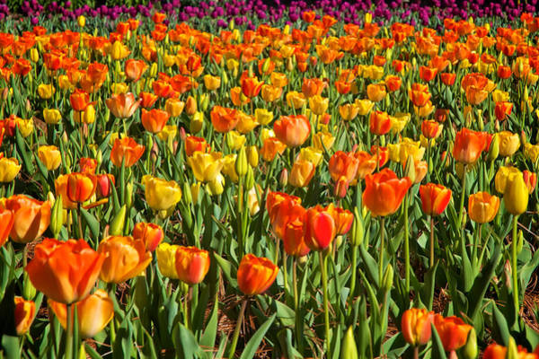 Profusion Of Tulips Biltmore Estate Nc Poster