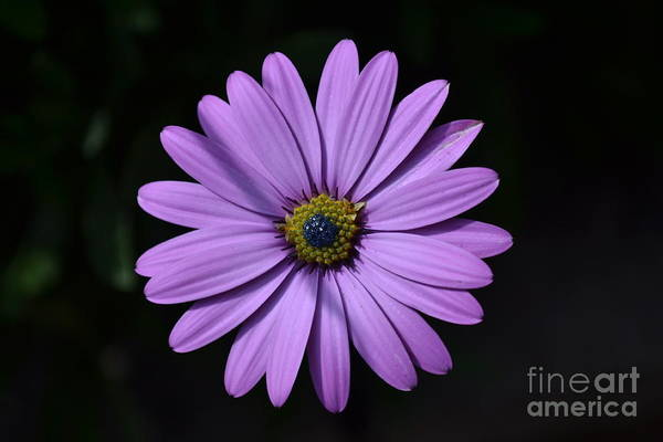 Poster featuring the photograph Purple African Daisy by Scott Lyons