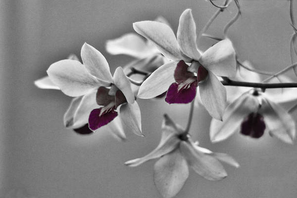 Purple And Pale Green Orchids - Black And White Poster