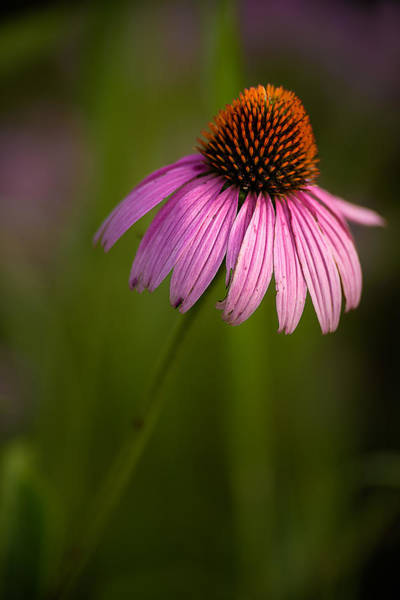 Purple Cone Flower Portrait Poster