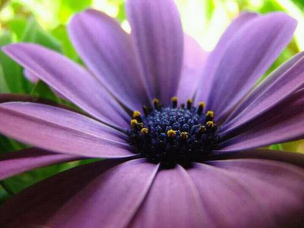 Purple Mexican Flower Poster