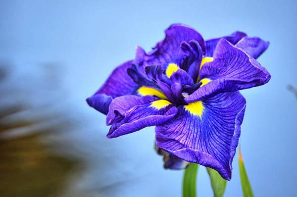 Purple Pond Iris Poster