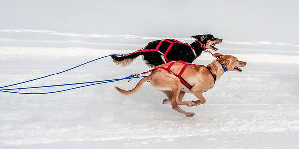 Racing Sled Dogs Poster