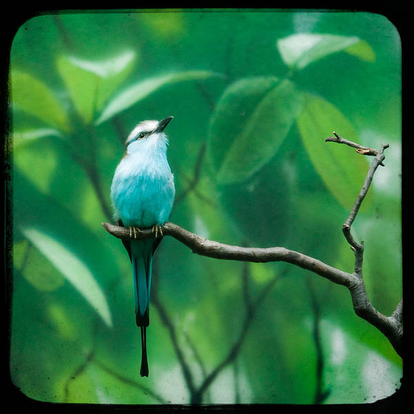 Racquet Tailed Roller Poster
