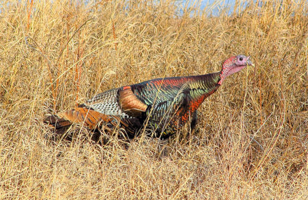 Poster featuring the photograph Rainbow Turkey by Shane Bechler
