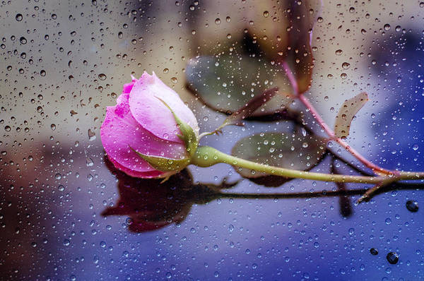 Raindrops And The Rose Poster