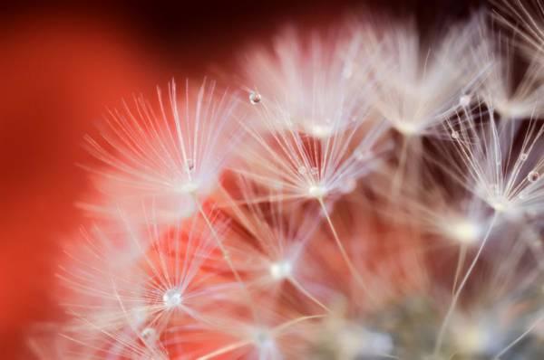 Raindrops On Dandelion Red Poster