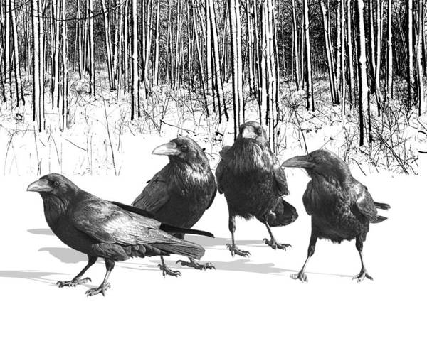 Ravens By The Edge Of The Woods In Winter Poster