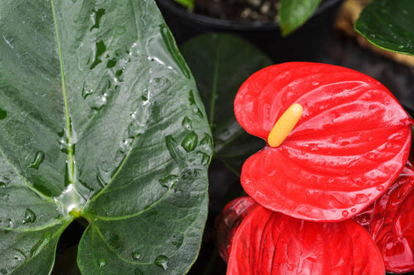 Red Anthurium Flower Poster