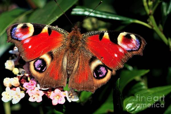 Red Butterfly In The Garden Poster