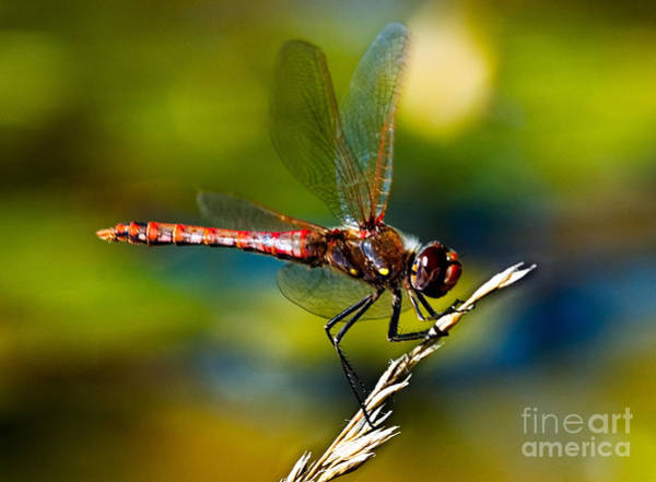 Poster featuring the photograph Red Dragonfly by Mae Wertz