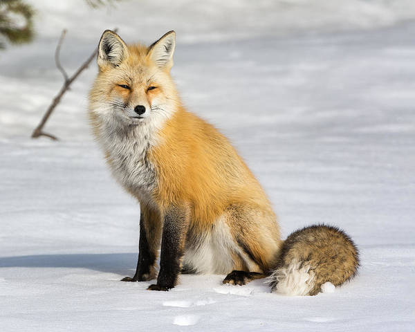 Red Fox Sitting Poster